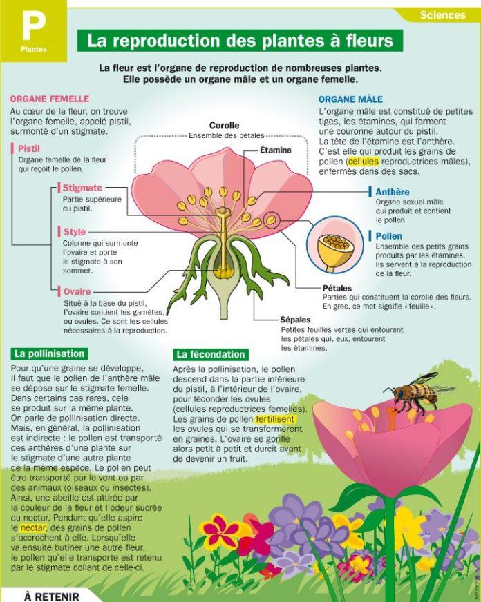 Educational Infographic La Reproduction Des Plantes A Fleurs