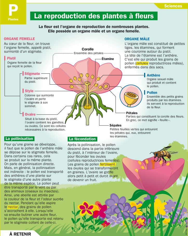 Educational infographic : La reproduction des plantes à fleurs - InfographicNow.com | Your ...