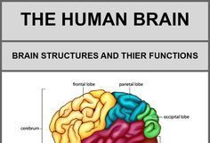 Psychology : The Human Brain, Its Structures And Their